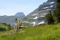 Cabras de montanha B 8-07 Fotos de Stock Royalty Free