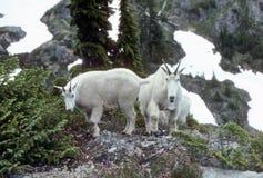 Cabras de montanha curiosas, passagem de Gladys foto de stock