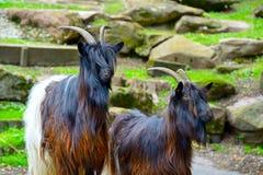 Cabras de montanha da família Foto de Stock Royalty Free