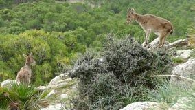 Cabras de montanha em rochas na natureza em torno do chorro do EL video estoque