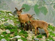 Cabras de montanha entre as rochas Imagens de Stock