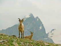 Cabras de montanha entre as rochas Imagem de Stock