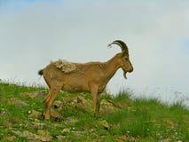 Cabras de montanha entre as rochas Foto de Stock