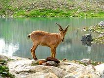 Cabras de montanha entre as rochas Imagens de Stock Royalty Free