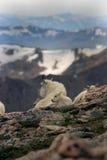 Cabras de montanha mt Evans 1 Fotos de Stock Royalty Free