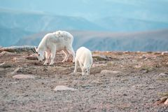 Cabras de montanha na escala de Beartooth Fotos de Stock Royalty Free
