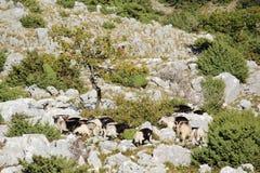 Cabras de montanha na montanha de Srd perto de Dubrovnik, Croácia Imagem de Stock Royalty Free