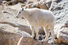 Cabras de montanha no Colorado Rocky Mountains Fotos de Stock