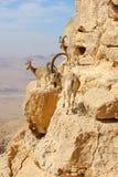 Cabras de montanha no Makhtesh Ramon Foto de Stock Royalty Free