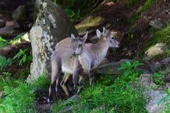 Cabras de montanha pequenas do bebê Fotografia de Stock Royalty Free