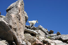 Cabras de montanha que escalam em rochas Fotografia de Stock Royalty Free