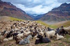 Cabras de montanha, vale de Spiti Imagem de Stock Royalty Free