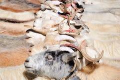 Cabras de nómadas en el pueblo de Korzok cerca del lago Tsomoriri, Ladakh, la India Fotos de archivo libres de regalías