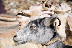 Cabras de nómadas en el pueblo de Korzok cerca del lago Tsomoriri, Ladakh, la India Fotos de archivo
