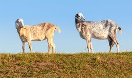 Dos cabras anglo-Nubian en un dique holandés en madrugada se encienden. Fotografía de archivo