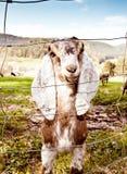 Cabras de Nubian en resorte Foto de archivo libre de regalías