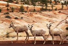 Cabras de Zion Fotografia de Stock