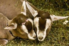 Cabras del bebé Fotografía de archivo