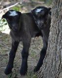 Cabras del bebé Fotos de archivo libres de regalías