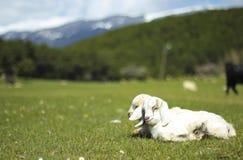 Cabras del bebé Fotografía de archivo libre de regalías