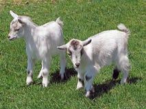 Cabras del bebé imagen de archivo