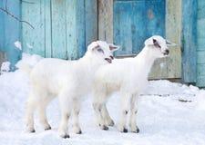 Cabras del bebé en la granja Imagen de archivo libre de regalías