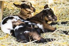 Cabras del bebé que duermen en una granja Fotografía de archivo libre de regalías