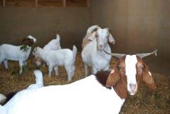 Cabras del Boer blancas y marrones en pluma Imagenes de archivo