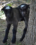 Cabras do bebê fotos de stock royalty free