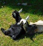 Cabras do bebê que descansam no sol imagem de stock royalty free