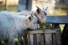 Cabras do bebê que comem o feno Fotos de Stock