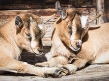 Cabras do miúdo Imagem de Stock