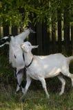 Cabras domésticas Fotografia de Stock Royalty Free