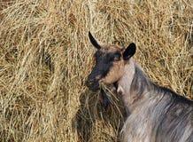 Cabras durante a alimentação pelo feno Imagem de Stock Royalty Free