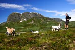 Cabras e caminhante em Noruega Foto de Stock Royalty Free