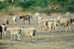 Cabras e carneiros em um campo fotografia de stock royalty free