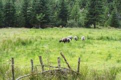 Cabras e cordeiros que pastam na grama suculenta da floresta 2 imagem de stock royalty free