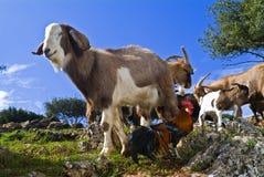 Cabras e torneira Fotografia de Stock Royalty Free