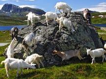 Cabras em Noruega Fotografia de Stock Royalty Free