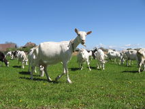 Cabras em um campo Imagem de Stock Royalty Free
