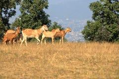 Cabras em um campo em Nepal imagem de stock royalty free