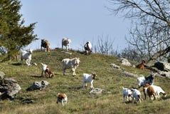 Cabras em um monte Foto de Stock Royalty Free