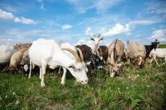 Cabras em um pasto Fotografia de Stock Royalty Free