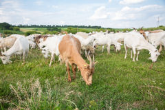Cabras em um pasto Fotografia de Stock