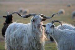 Cabras em uma exploração agrícola. Imagens de Stock