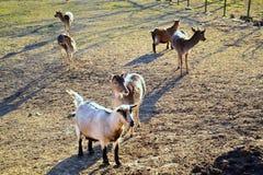 Cabras em uma pena Foto de Stock