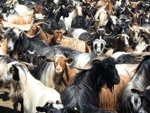 Cabras em uma pena fotos de stock royalty free