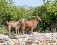 Cabras em uma vila grega imagens de stock royalty free