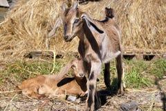 Cabras en campo Fotografía de archivo libre de regalías