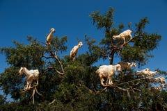 Cabras en el ?rbol del spinosa de Argan Argania, Marruecos foto de archivo
